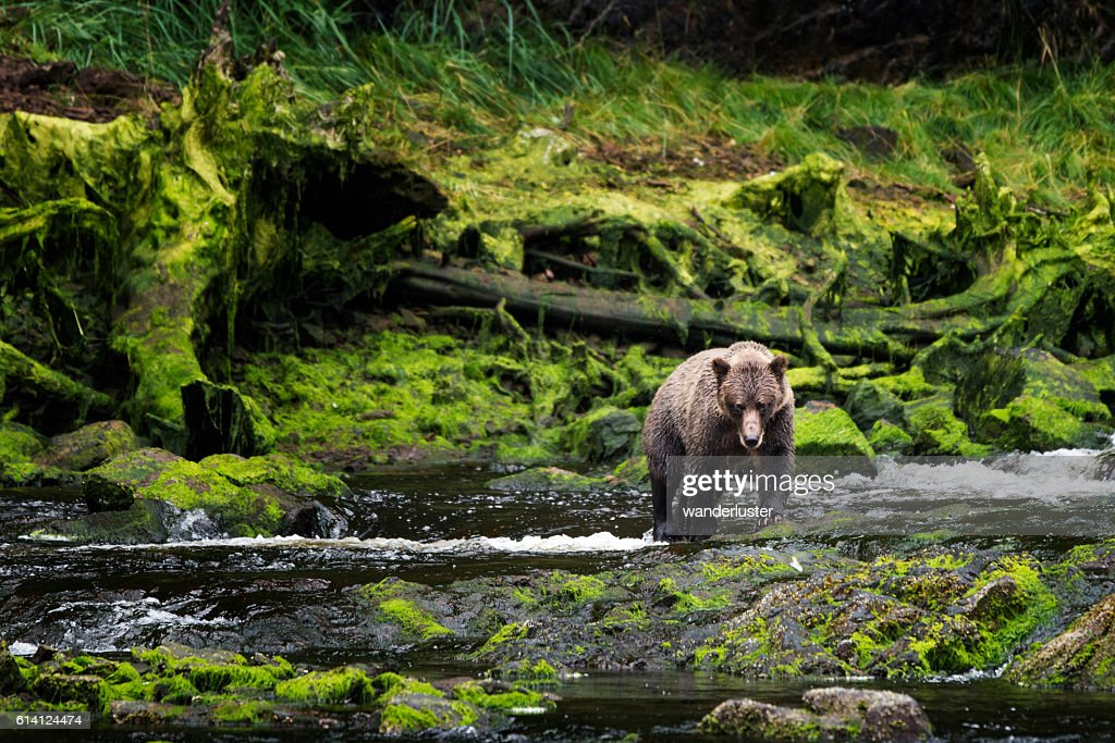 Grizzly approaches from mossy riverbank : Foto de stock