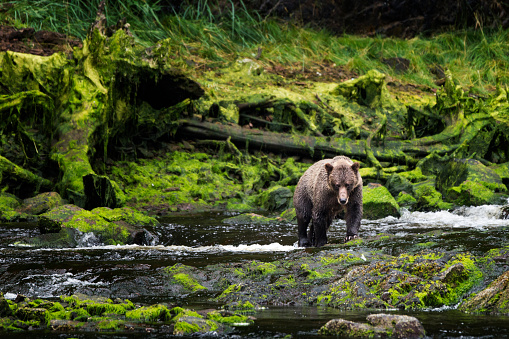 Grizzly approaches from mossy riverbank 614124474