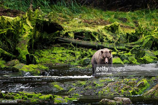 grizzly approaches from mossy riverbank - vilda djur bildbanksfoton och bilder