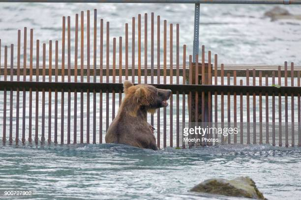Grizzly at the Weir