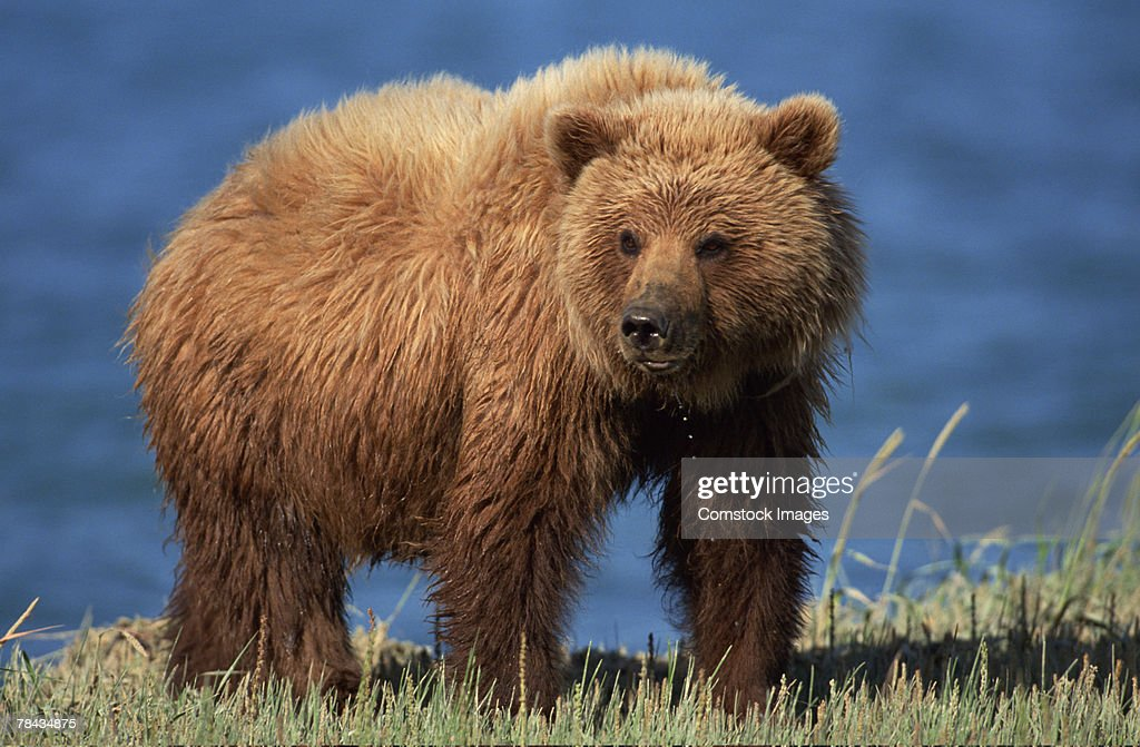 Grizzly bear , Alaska : Stockfoto