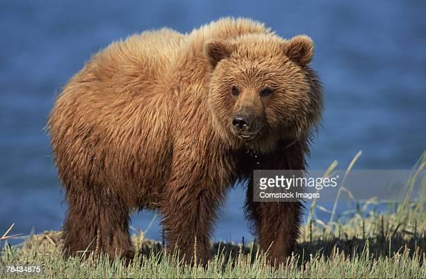 Grizzly bear , Alaska