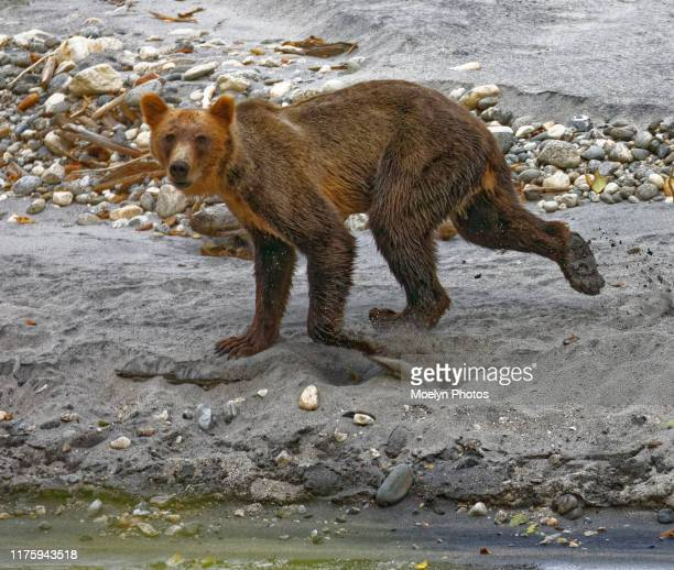 grizzly bear along a stream before the salmon run - threatened species stock pictures, royalty-free photos & images