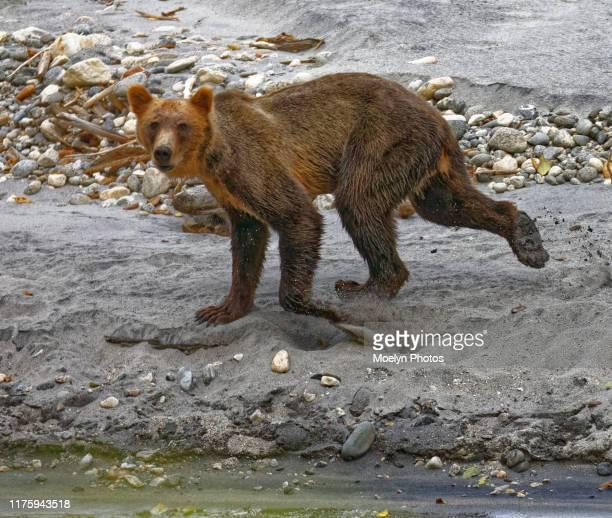 grizzly bear along a stream before the salmon run - especies amenazadas fotografías e imágenes de stock
