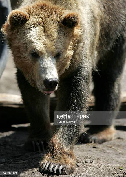A grizzly bear an endangered animal species walks in an exhibit at the San Francisco Zoo May 18 2007 in San Francisco California The US celebrates...
