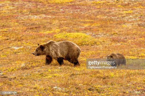 grizzly bear and cub on the prowl - highlywood stock pictures, royalty-free photos & images