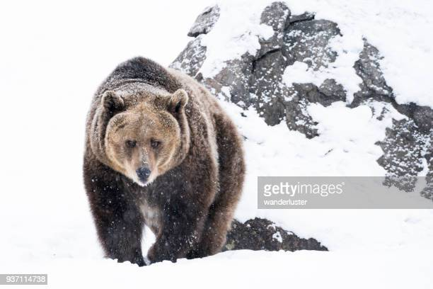 Grizzly bear approaching in snow on winter day