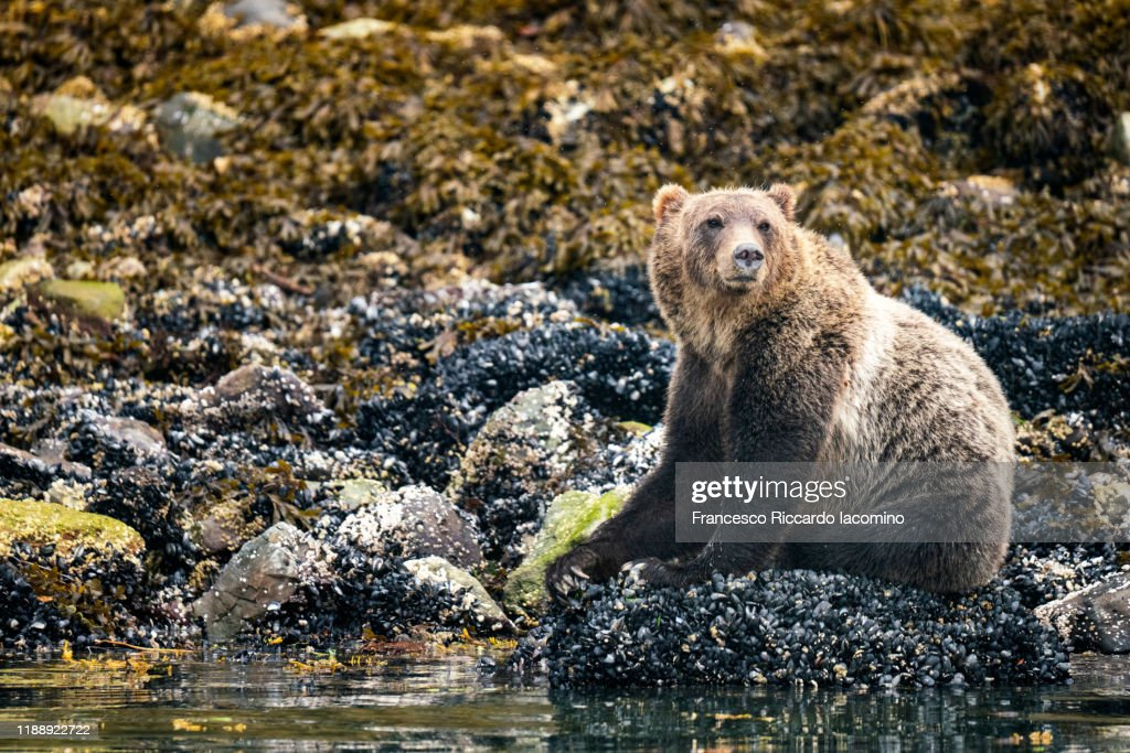 Grizzly bear at Kinght Inlet, Vancouver Island, British Columbia, Canada : Foto stock