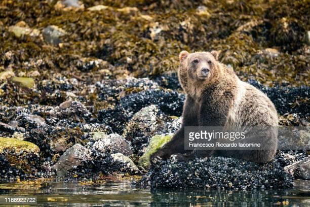 grizzly bear at kinght inlet, vancouver island, british columbia, canada - bras de mer caractéristiques côtières photos et images de collection