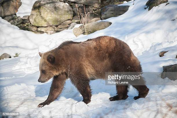A grizzly bear at the Bronx Zoo in New York on Wednesday January 27 2016 Analysts report that the current trend in selling a bear market is likely to...