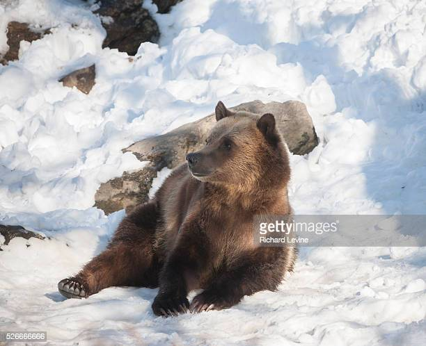 Grizzly bear at the Bronx Zoo in New York on Wednesday, January 27, 2016. Analysts report that the current trend in selling, a bear market, is likely...