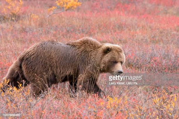 Grizzly Bear, Brown Bear in September