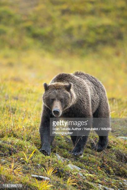 grizzly bear, brown bear - grizzly bear stock pictures, royalty-free photos & images