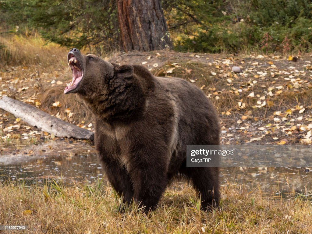 Grizzly Bear by Waters Edge Autumn Color Background Captive : Stock Photo