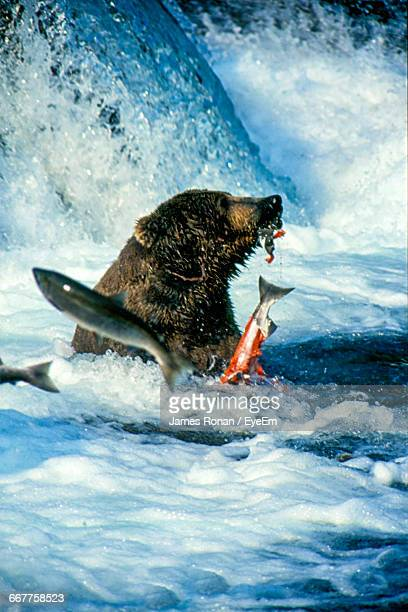 Grizzly Bear Catches Fish In River