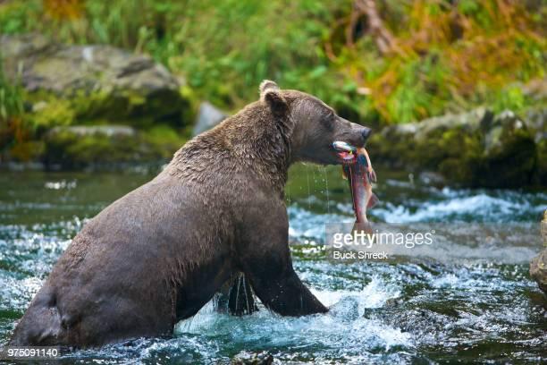 a grizzly bear catching a salmon from the river. - buck teeth - fotografias e filmes do acervo