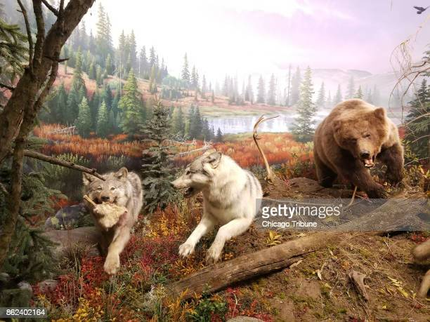 A grizzly bear chases wolves in a diorama created for the Wonders of Wildlife attraction in Springfield Mo