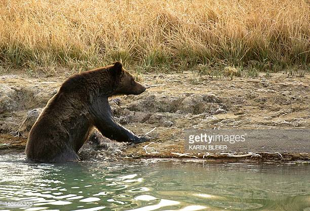 A Grizzly bear climbs out of Pelican Creek October 8 2012 in the Yellowstone National Park in WyomingYellowstone National Park is America's first...