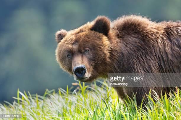 gros plan de grizzli dans un pré herbeux - ours brun photos et images de collection
