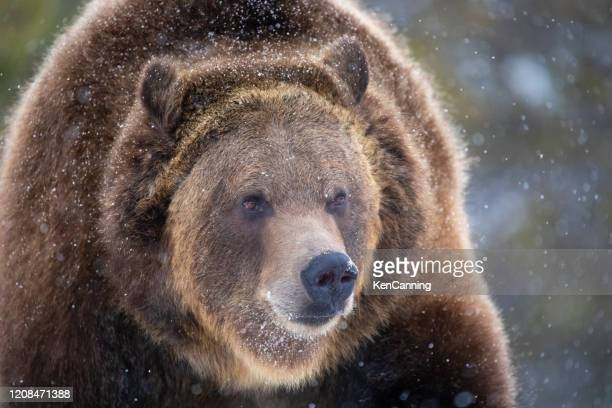 grizzly bear close-up in winter snow - grizzlies stock pictures, royalty-free photos & images