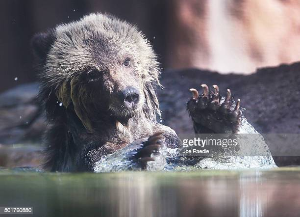 Grizzly bear cub named Juneau splashes around in a pond during her first day out in the public at the Palm Beach Zoo on December 17, 2015 in West...