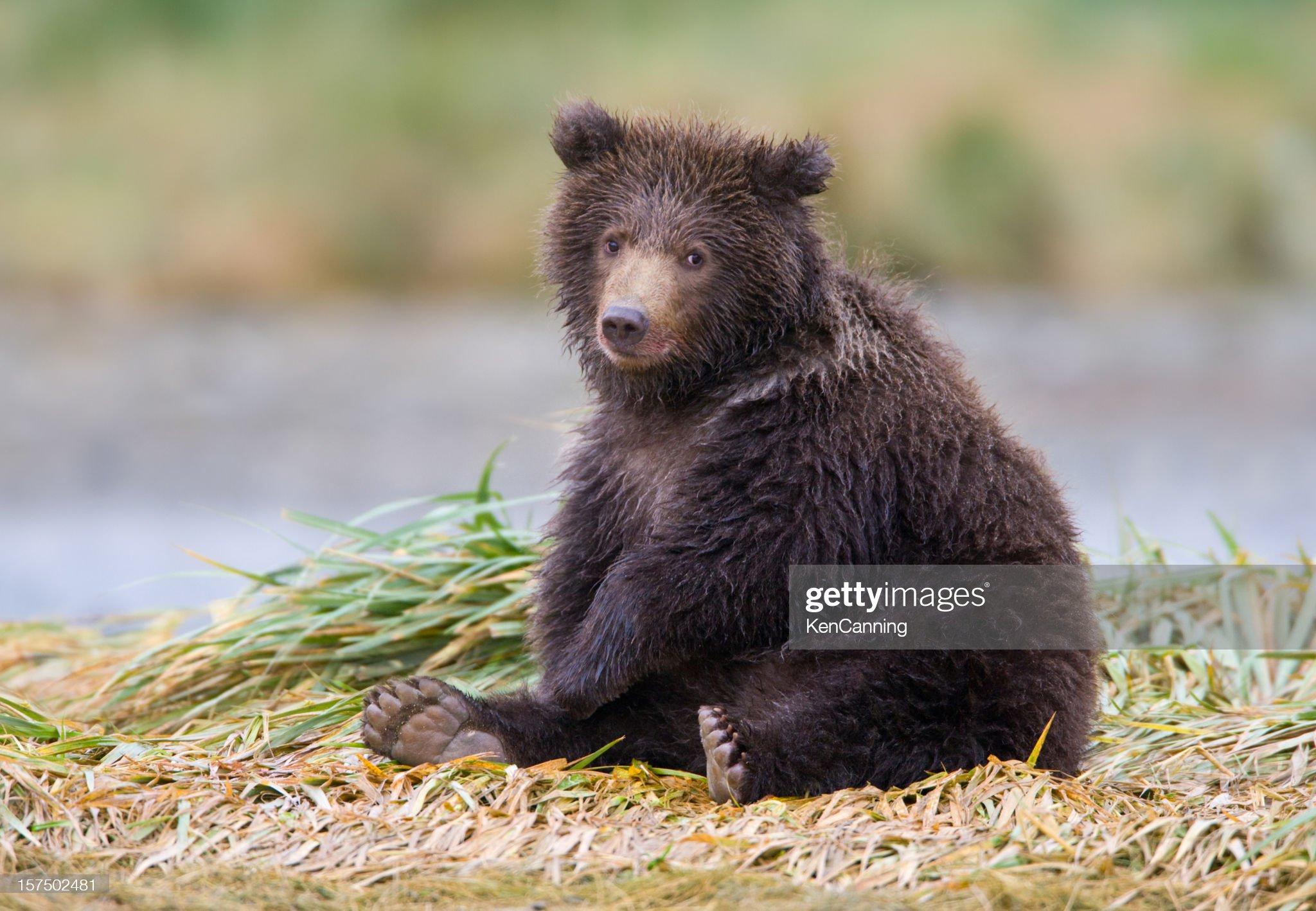Cucciolo di orso Grizzly : Foto stock