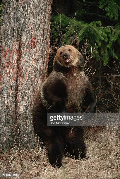 Grizzly Bear Cub Scratching Back on Tree