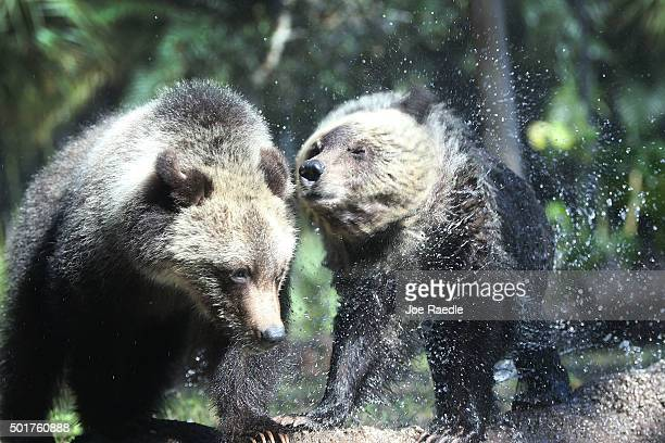 Grizzly bear cubs Juneau Sitka enjoy their first day out in the public at the Palm Beach Zoo on December 17 2015 in West Palm Beach Florida The Zoo...