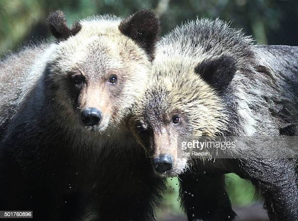 Grizzly bear cubs Juneau Sitka stand during their first day out in the public at the Palm Beach Zoo on December 17 2015 in West Palm Beach Florida...