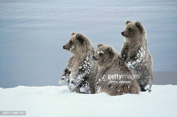 grizzly bear (ursus arctos) cubs playing in snow - bear cub stock pictures, royalty-free photos & images
