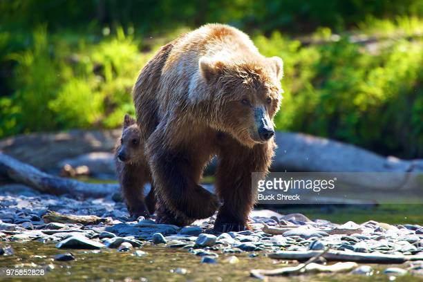 grizzly bear family, brook falls, alaska, usa - grizzly bear stock photos and pictures