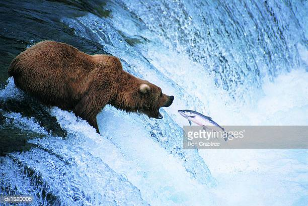 grizzly bear feeds on a jumping salmon, alaska - catching stock pictures, royalty-free photos & images