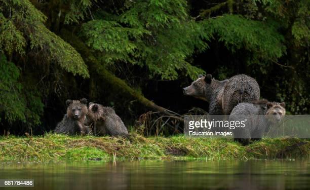 Grizzly Bear female & 3 Cubs, Great Bear Rainforest, Canada.