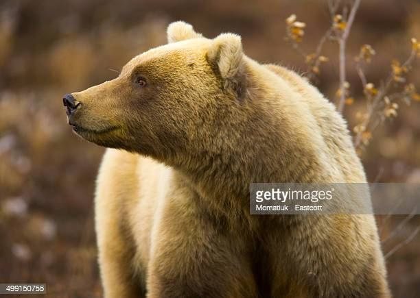 grizzly bear female in tundra - public domain stock pictures, royalty-free photos & images