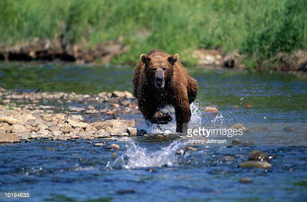 Grizzly bear (Ursus arctos horribilis) fishing for salmon