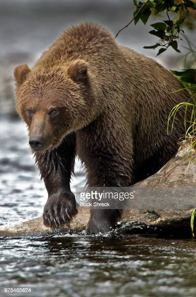 grizzly bear fishing in russian river, alaska, usa - grizzly bear stock photos and pictures