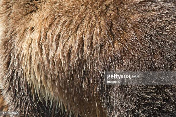 Grizzly Bear fur Texture