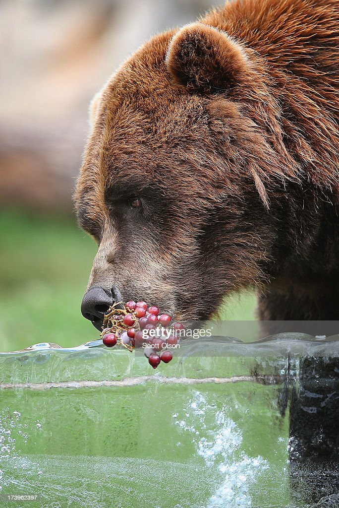 A grizzly bear gets a treat of fruit served on a block of ice to help him stay cool in his enclosure at Brookfield Zoo on July 18, 2013 in Brookfield, Illinois. A heat wave continues to grip much of the country today with temperatures expected to top 90 degrees in forty-seven states.