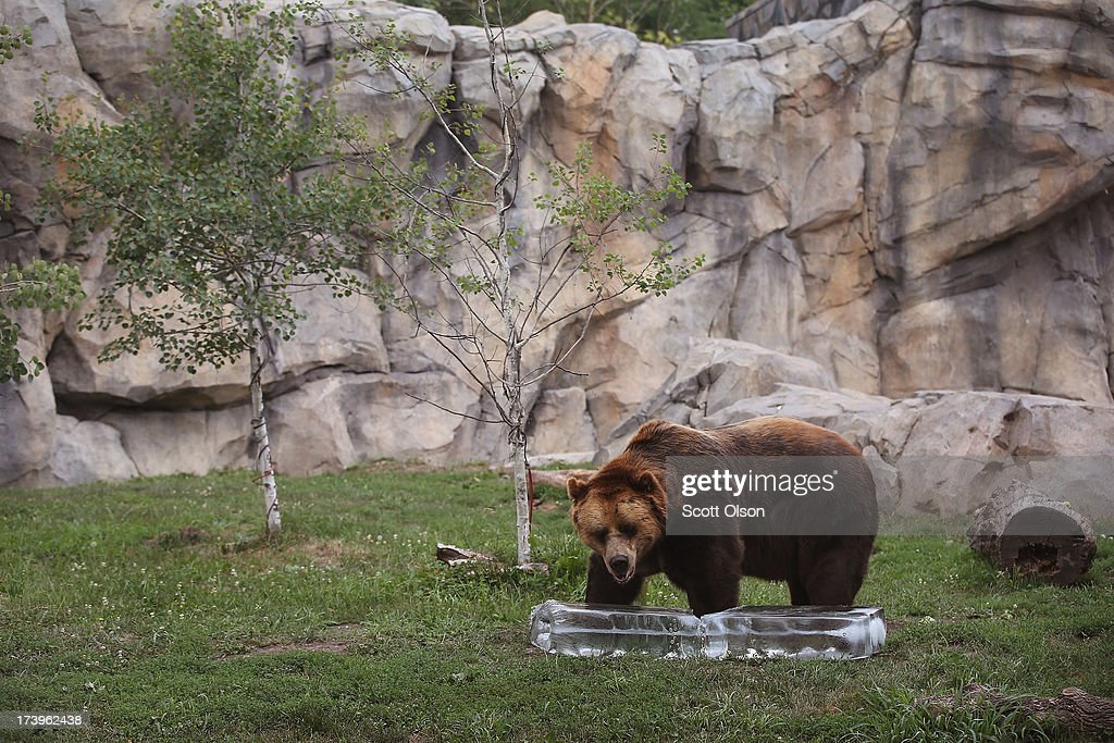 A grizzly bear gets a treat of fruit served on a block of ice to help him stay cool in his enclosure at Brookfield Zoo on July 18, 2013 in Brookfield, Illinois. A heat wave continues to grip much of the country today with temperatures expected to top 90 degrees in 47 states.