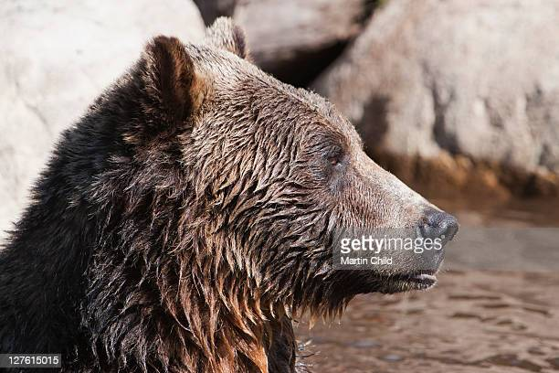 grizzly bear, grouse mountain, vancouver - grouse mountain stock photos and pictures