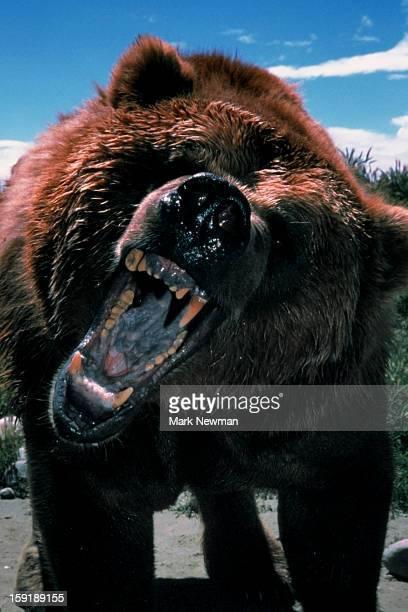 Grizzly Bear growling closeup