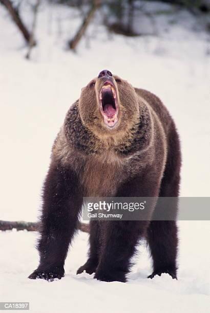 Grizzly bear (Ursus arctos) growling