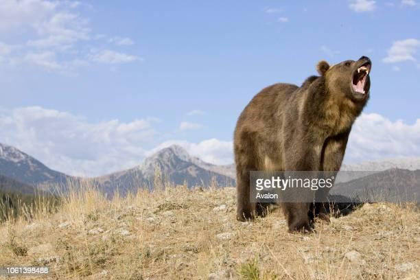 Grizzly bear growling USA.