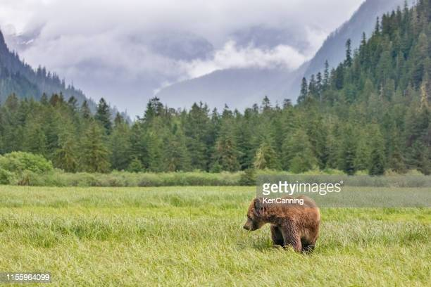 grizzly bear in a meadow in canada's great bear rainforest - british columbia stock pictures, royalty-free photos & images