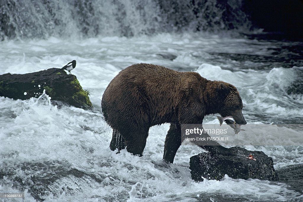 Grizzly Bear In Alaska, United States - : News Photo