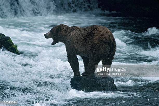 Grizzly bear in Alaska United States Fishing salmons in Katmai Brooks river