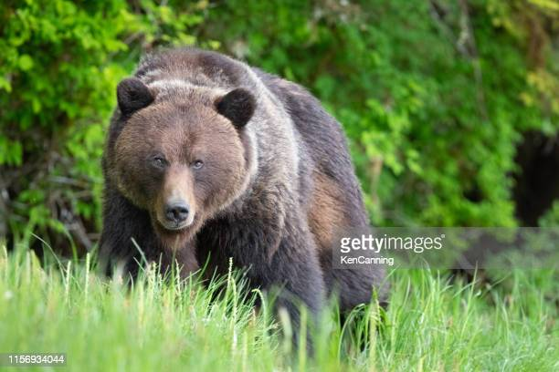 grizzly bear in canada's great bear rainforest - orso grizzly foto e immagini stock