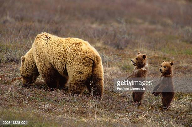 Grizzly bear (Ursus arctos) in field with two cubs