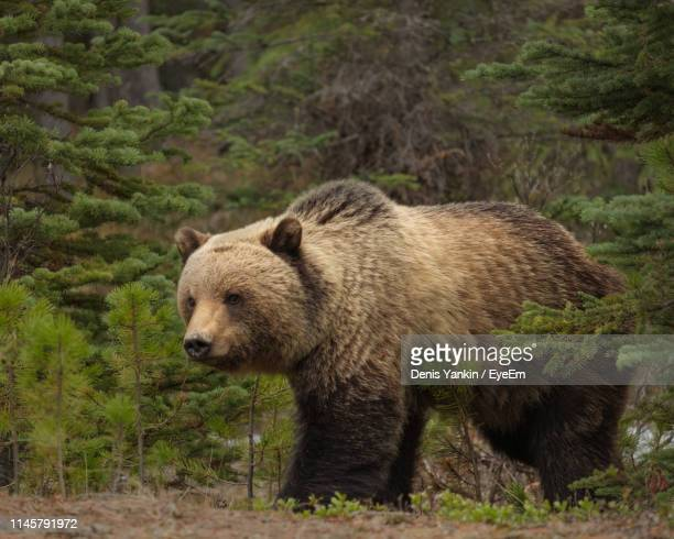 grizzly bear in forest - orso grizzly foto e immagini stock