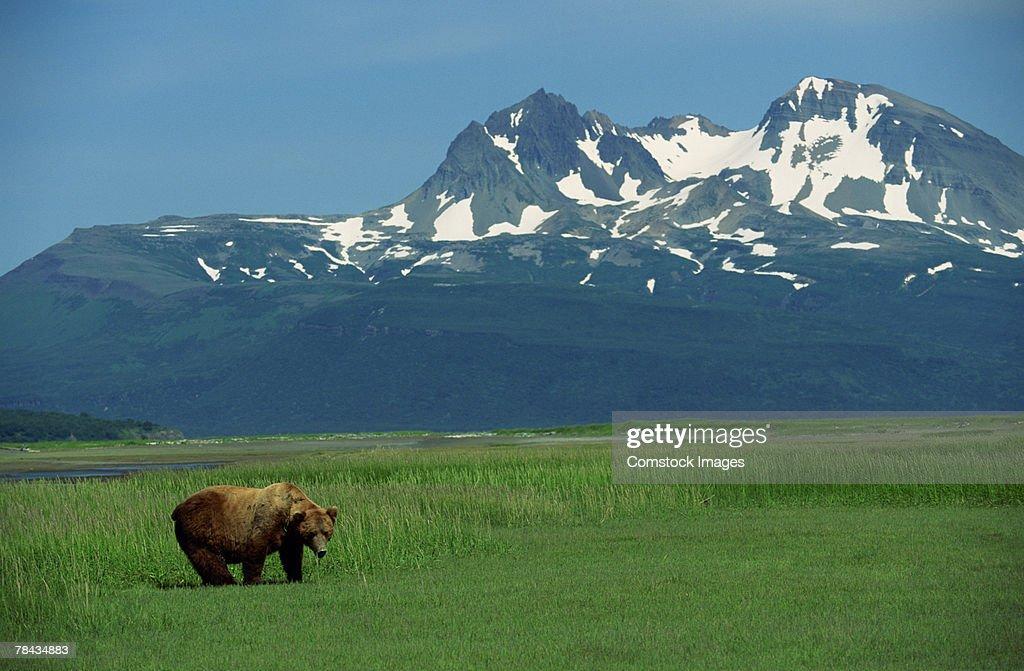 Grizzly bear in grass field , Alaska : Stockfoto